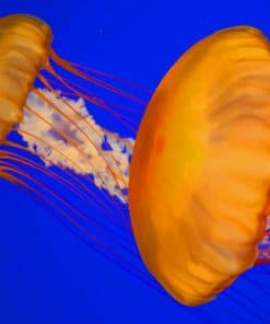 Atlantic Sea Nettle Jellyfish painting by numbers