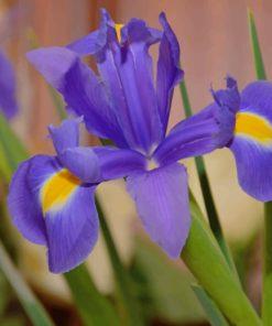 Purple Iris Flower paint by numbers