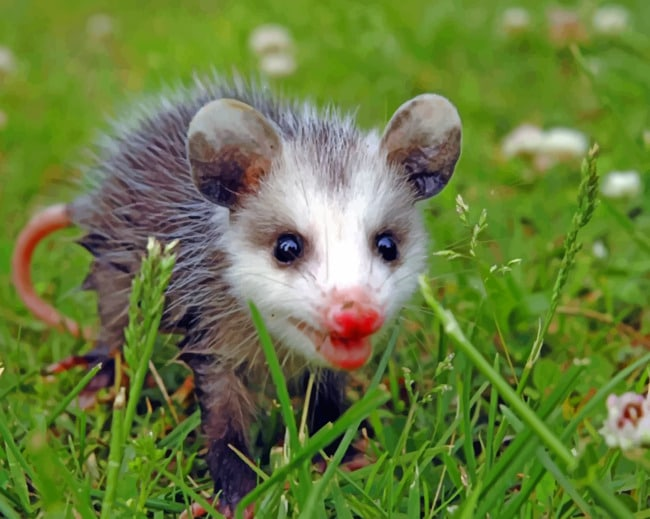 Baby Opossum On A Grassland - Animals Paint By Numbers - Canvas Paint by numbers