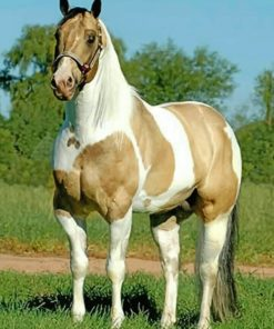 Brown And White Horse painting by numbers