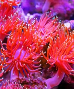 Aquarium Anemone paint by numbers
