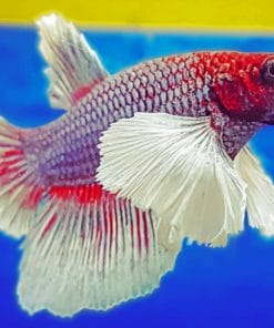 Red And White Betta Fish paint by numbers