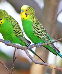 Green Budgie Birds paint by numbers